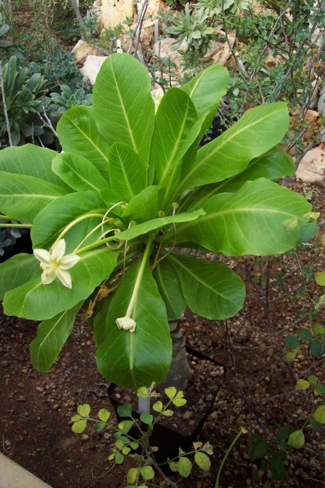 Palmier volcan ou vulcan palm = Brighamia insignis Je_de_10