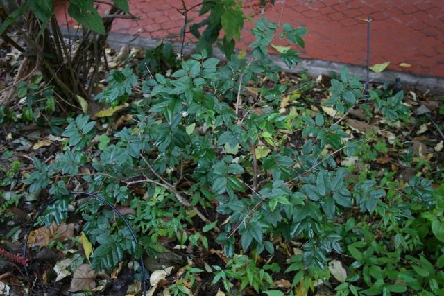 Euphoria langan et Myrciaria cauliflora  en acclimatation Myrcia10