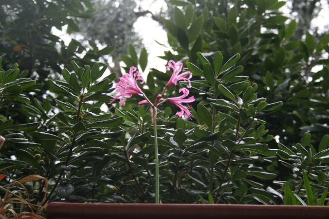 Jolies fleurs variées Nerine10