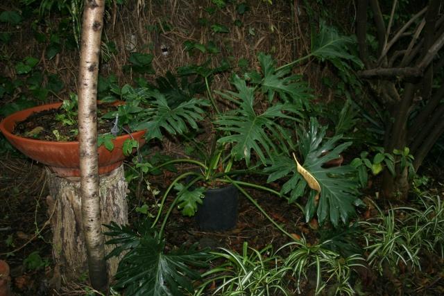 Philodendron et Dracaena en extérieur Philod11
