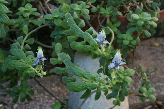 Plectranthus ornatus, à avoir Plectr11