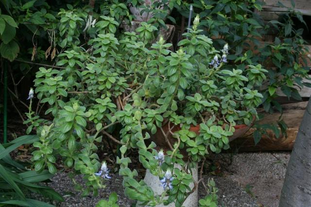 Plectranthus ornatus, à avoir Plectr13