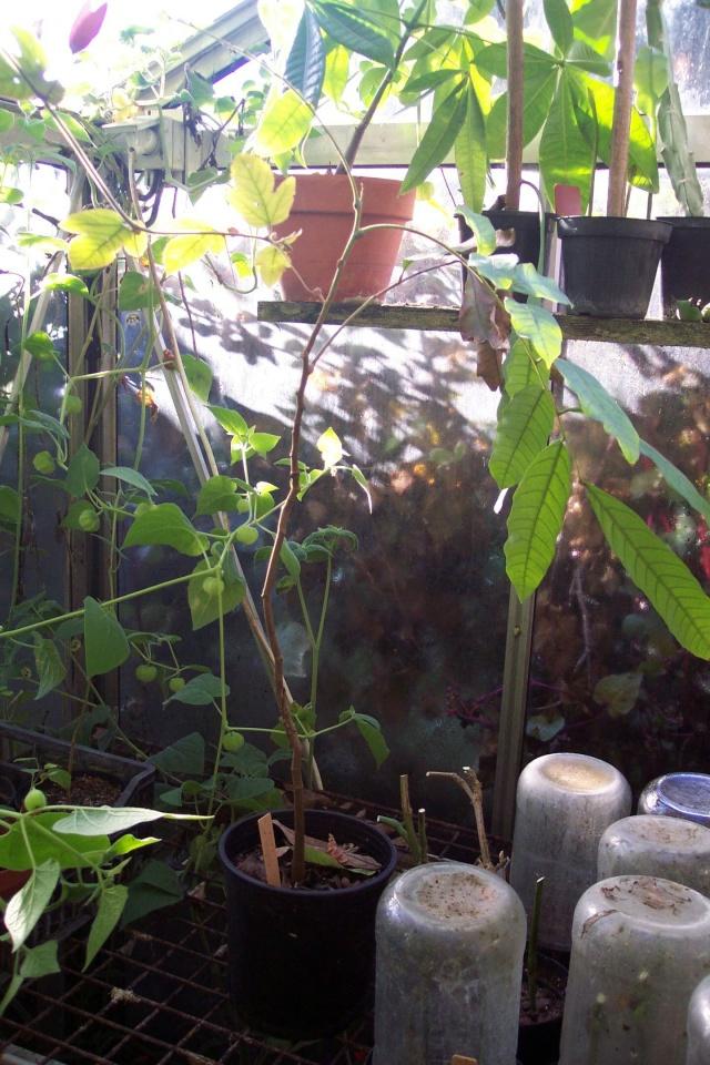 Longanier : Dimocarpus longan Sapind10