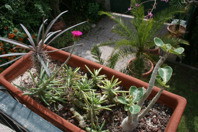 Senecio mweroensis en pleine végétation Seneci13