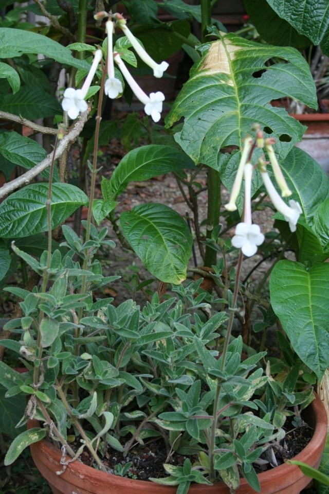 Sinningia tubiflora Sinnin10