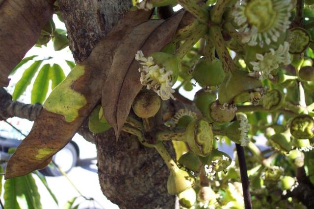 Schefflera pueckleri ( ex Tupidanthus calyptratus ) : magnifique Square10