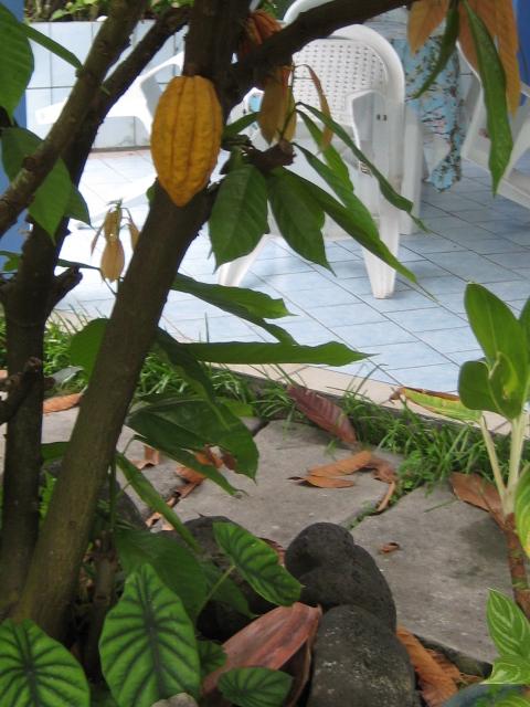 Identification d'une plante des atolls polynésiens - Premna obtusifolia Theobr11