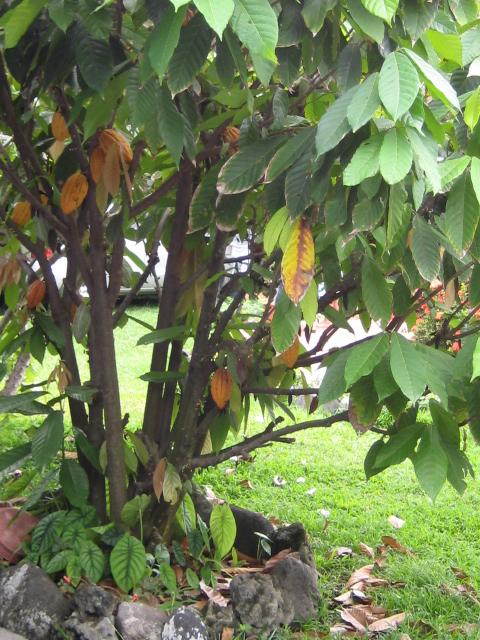 Identification d'une plante des atolls polynésiens - Premna obtusifolia Theobr12