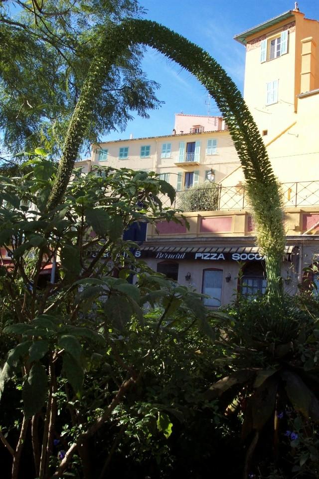 agave attenuata Vieill10