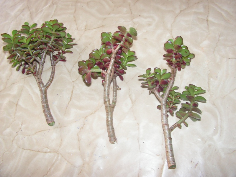 crassula en bonsai Pict0021