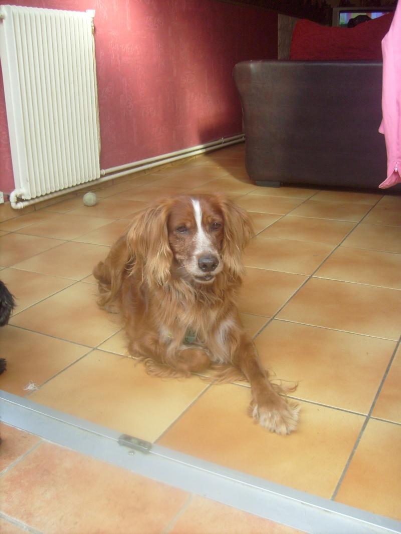Nicky, croisé épagneul, 12 ans dans son nouveau foyer... S7302212