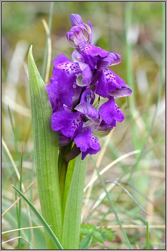 La saison des orchidées démarre Anacam19