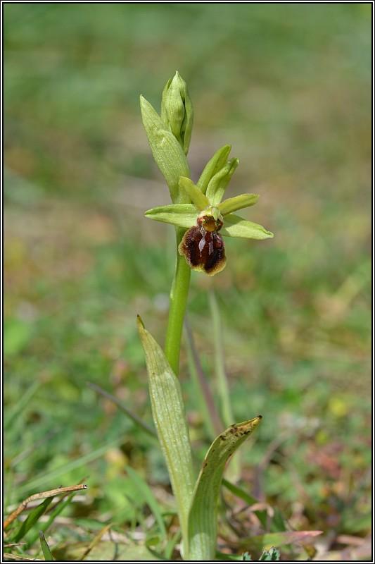 Ophrys aranifera Ophrys10