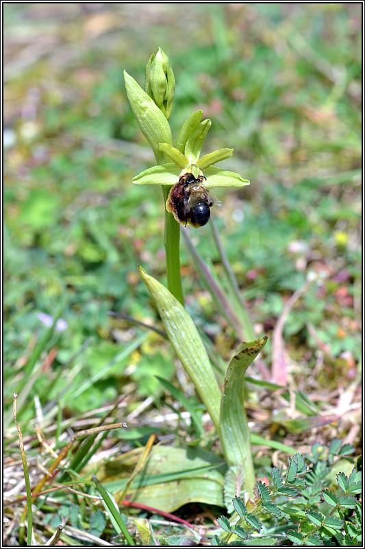Ophrys aranifera Ophrys12