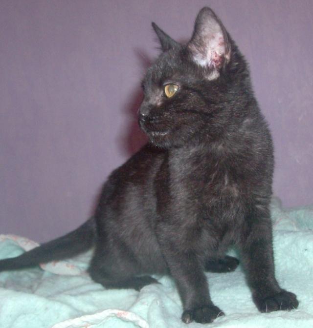 Guilly petite femelle noire 2 mois Hpim2617