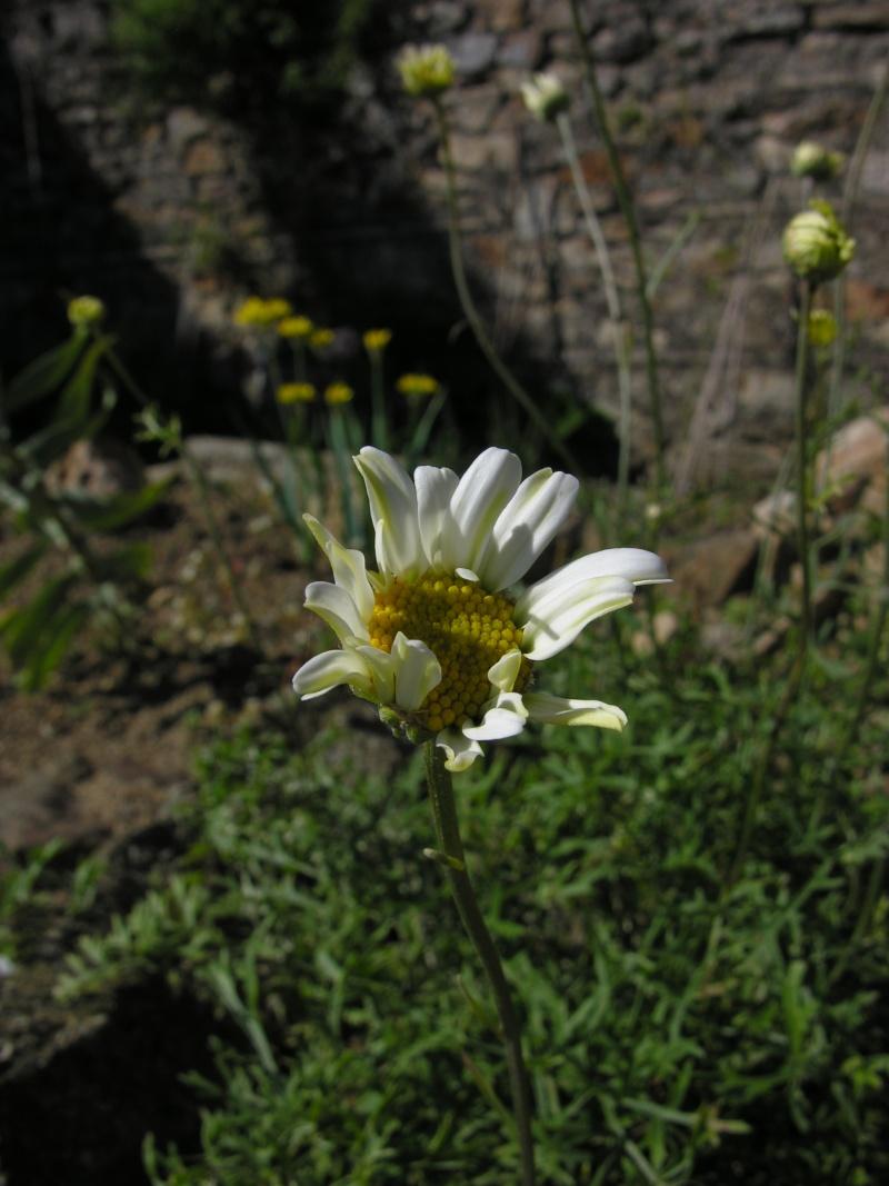 devinette n°1 : Tanacetum cinerariifolium Dscn5112