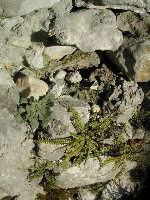 Rosularia sempervivoides Rosula10