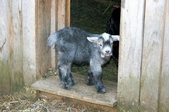 Les bébés de la ferme 22-nat10