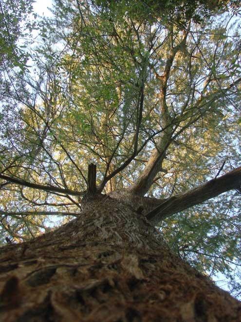 plus gros arbre Arbre_12