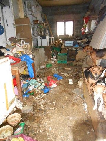 SOS pour 14 chiennes beagles  Beagle10
