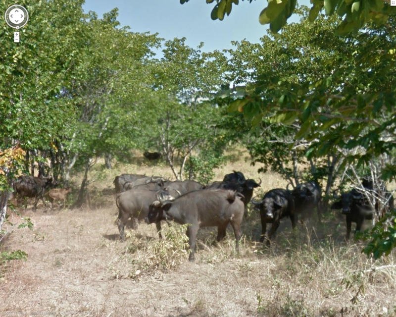 STREET VIEW : Les animaux - Page 7 Buffle10
