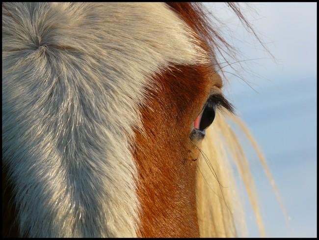 """Concours photo """" oeil de chevaux"""" venez votez ! P1070510"""