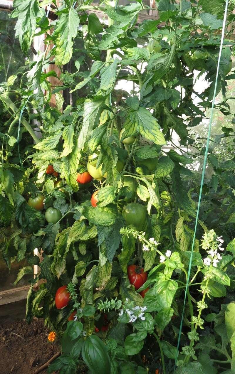 help tomates Serre_12