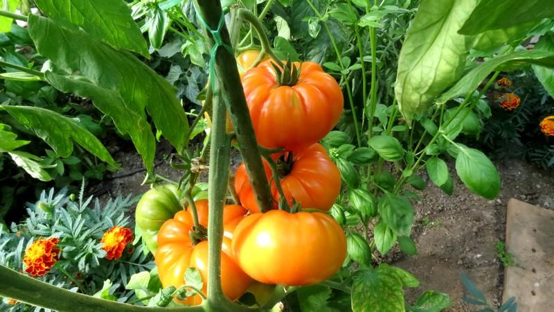help tomates Tomate10