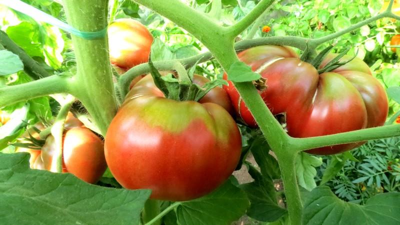 help tomates Tomate11