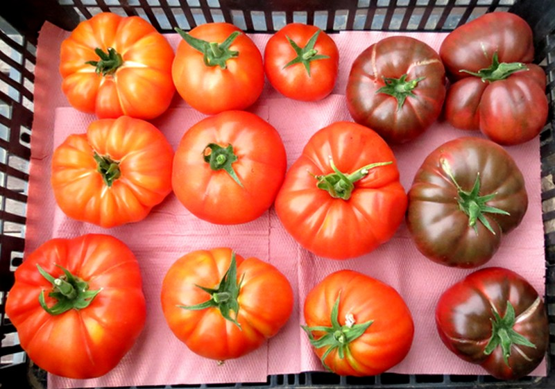 help tomates Tomate12