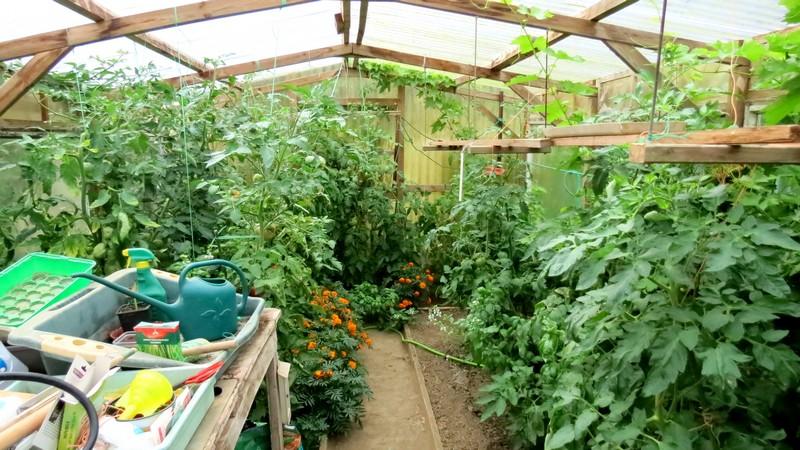 help tomates Tomate13