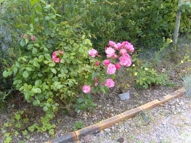 rosiers en aout 2013 Cornic10