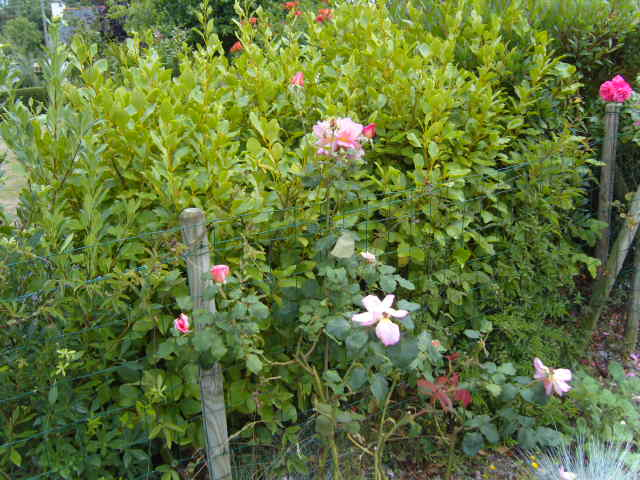 rosiers en aout 2013 Cornic11