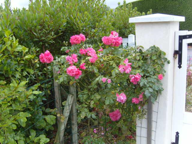 rosiers en aout 2013 Cornic12