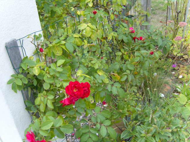 rosiers en aout 2013 Cornic13
