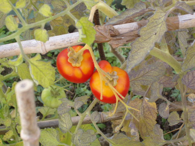 help tomates Potima22