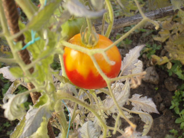 help tomates Potima23