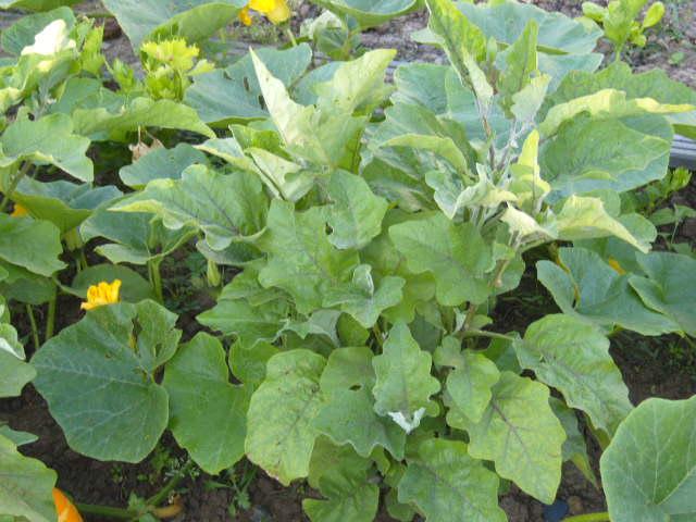 aubergines Potima27