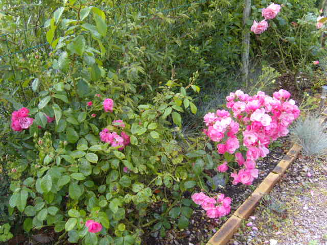 rosiers en aout 2013 Roses_11