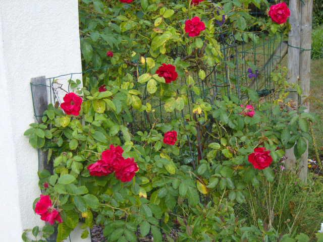 rosiers en aout 2013 Roses_14