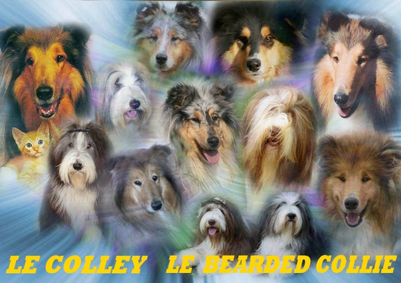 Le Colley  Le  Bearded collie