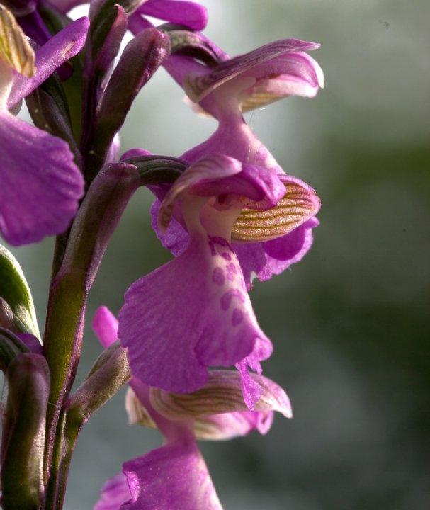 orchidees de charente maritime 29488_10
