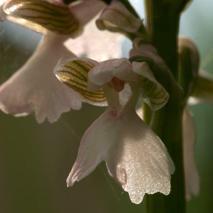 orchidees de charente maritime 29488_11