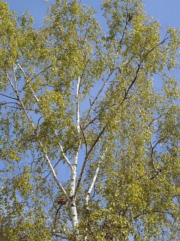 Betula pendula - Bouleau Hpim5810
