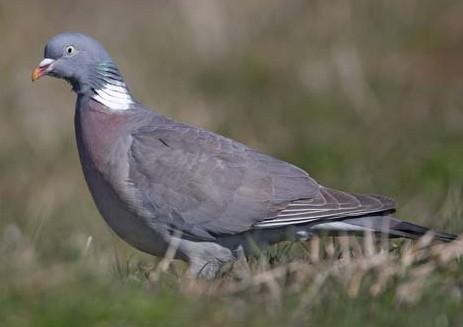Pigeon ramier Pigeon10