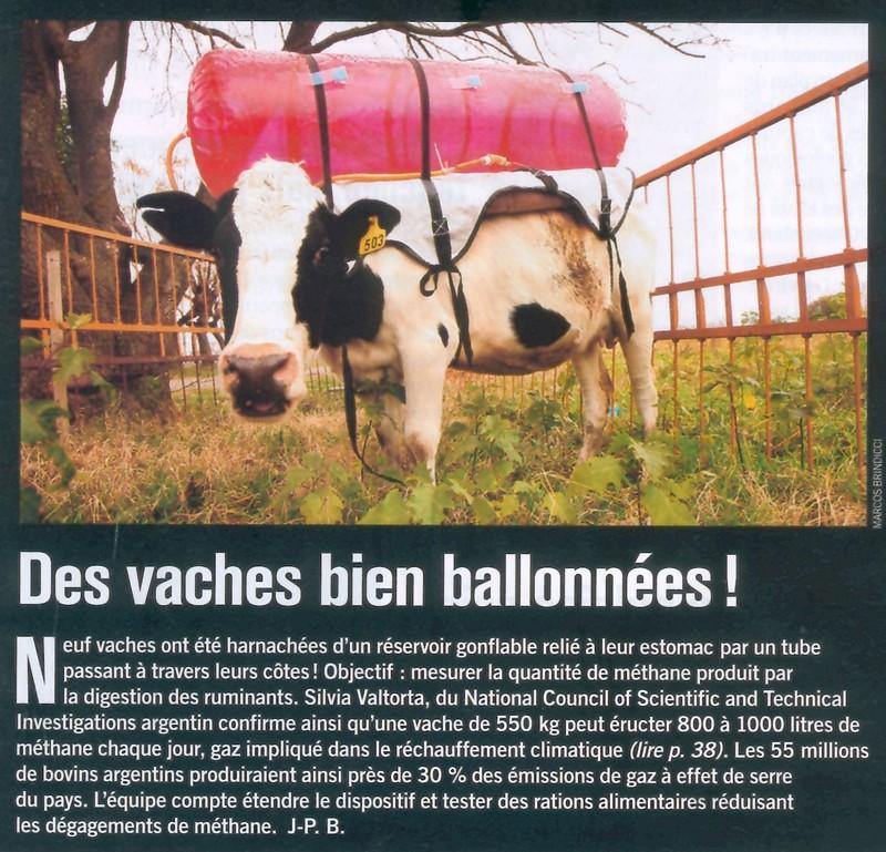 Des vaches bien ballonnées Vache110