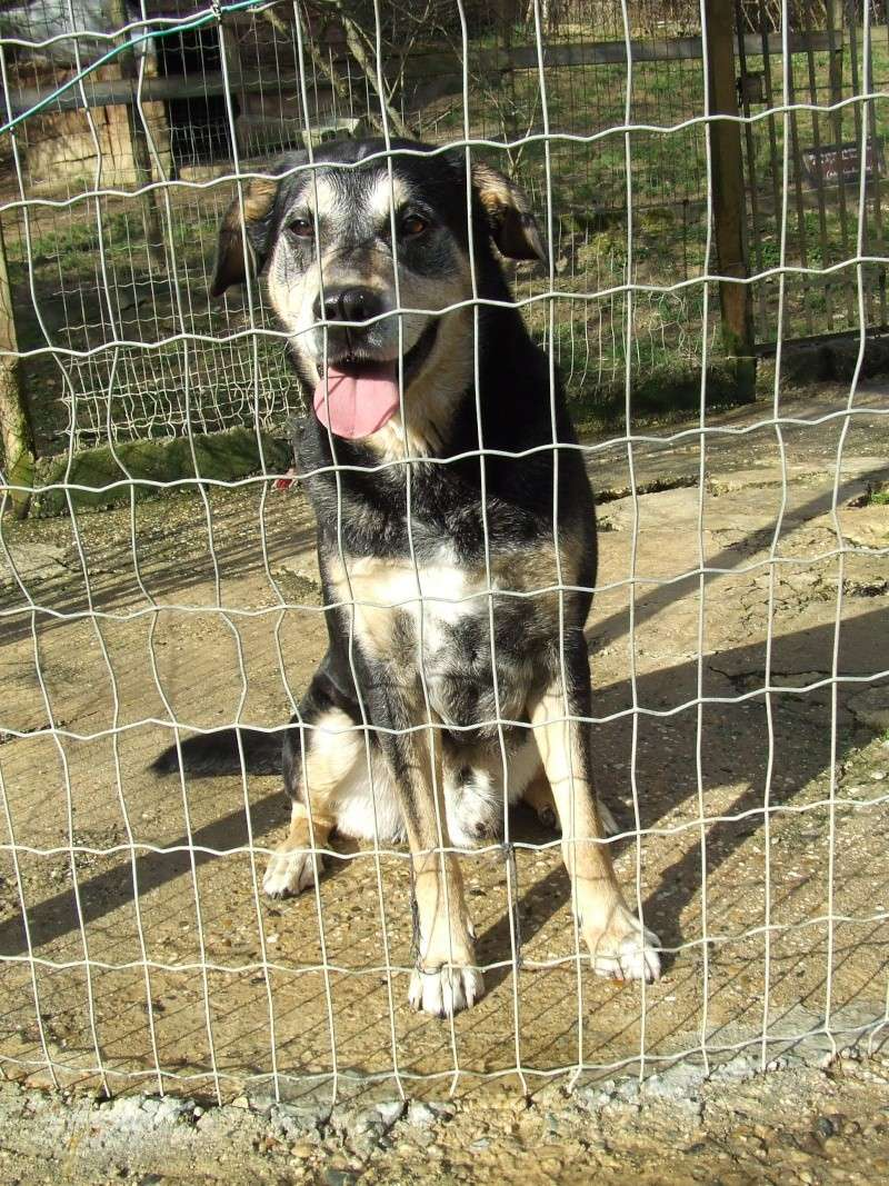 BEUCK - x labrador/beauceron 12 ans (10 ans de refuge) - Refuge Clochards Poilus à Tabanac (33) Beuck810