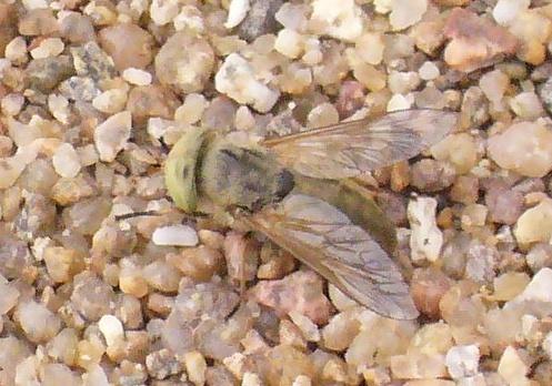 Mouche blanche aux yeux verts Mouche10