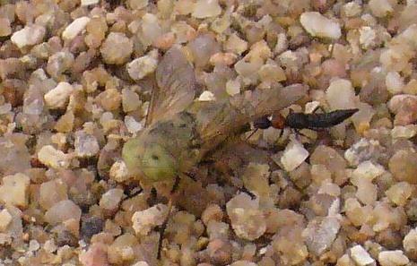 Mouche blanche aux yeux verts Mouche11