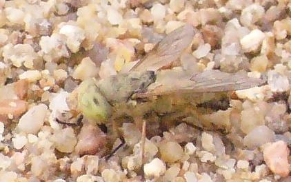 Mouche blanche aux yeux verts Mouche12